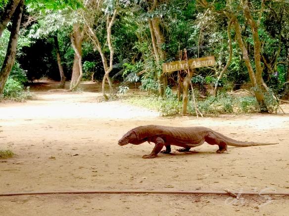 Komodo di TN Pulau Komodo